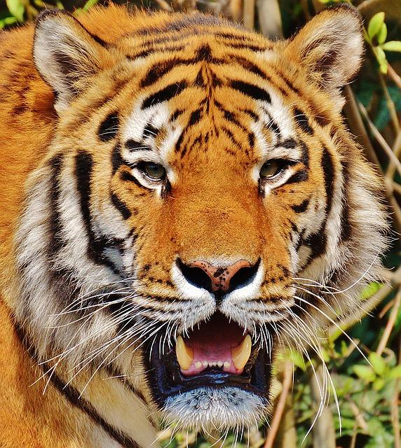 tiger-1342385_640