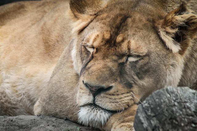 lion-721128_640